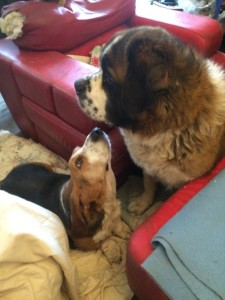 Droop the Basset and Lovely St Bernard Lola