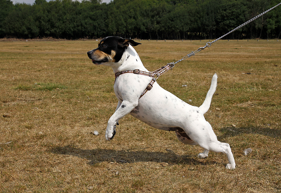 Reacting to Reactivity – working with on lead dog to dog aggression